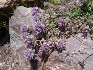Зизифора клиноподиевидная стебли с цветками на камне