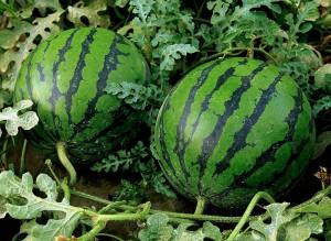 Арбуз обыкновенный растение