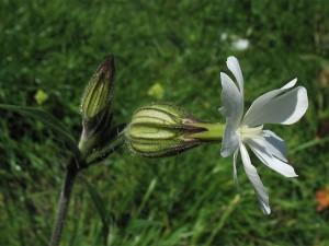 дрема белая цветок вид сбоку крупный план