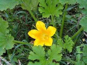 цветок и ботва тыквы
