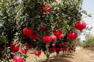 гранатовое дерево с плодами гранат растение
