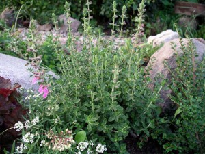 дубровник обыкновенный в садовых посадках
