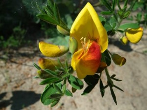 Ракитник венечный цветок крупный план
