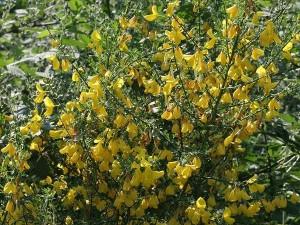 Жарновец метельчатый побеги с цветками