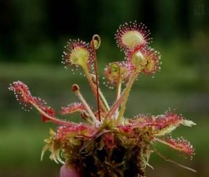 Росянка круглолистная растение