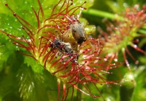 Росянка круглолистная лист с насекомыми крупный план