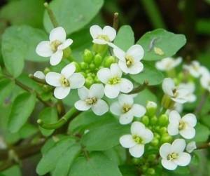 жеруха лекарственная цветы