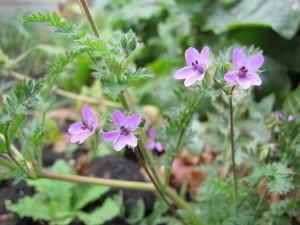 Аистник обыкновенный цветы