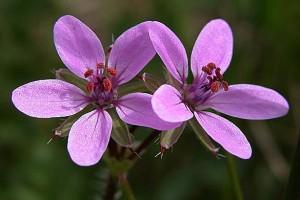 Аистник обыкновенный два цветка крупный план