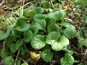 Грушанка круглолистная листья