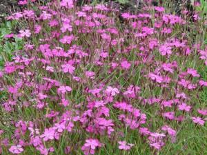 Гвоздика полевая на поле цветы