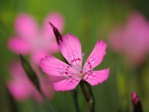 Гвоздика полевая цветок крупный план