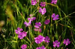 Маточная гвоздика цветущая
