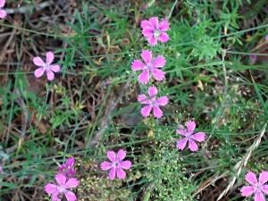 Гвоздика полевая розовые цветы