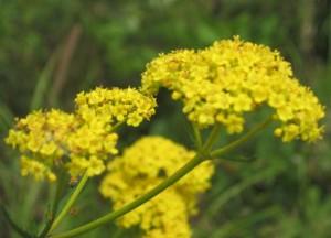Патриния скабиозолистная соцветие крупный план