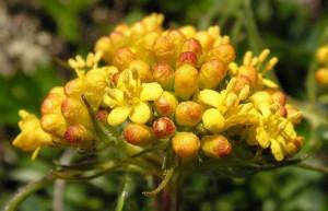 Патриния скабиозолистная цветок крупный план