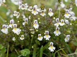 Очанка лекарственная цветущее растение