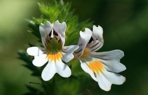 Очанка лекарственная соцветие крупный план