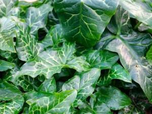 Аронник пятнистый листья