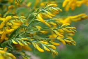 Дрок красильный цветы крупный план