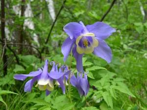 Водосбор сибирский цветы крупный план