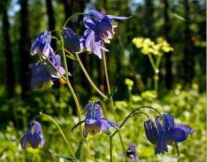 Водосбор сибирский цветы в лесу