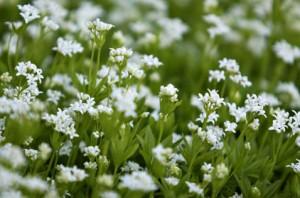 Ясменник душистый цветы