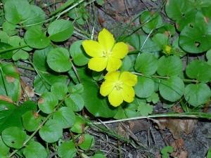 Вербейник монетный два цветка крупный план