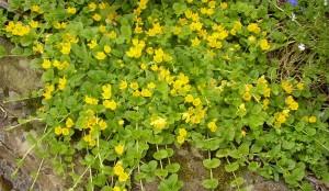 Вербейник монетный много цветов