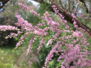 Тамариск цветущая ветвь