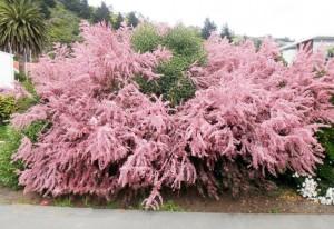 Тамариск цветущий кустарник