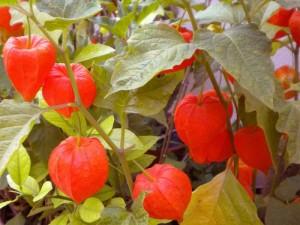 Физалис овощной плоды на растении