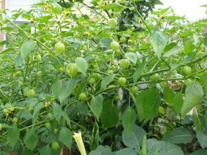 Физалис овощной растение с зелеными плодами