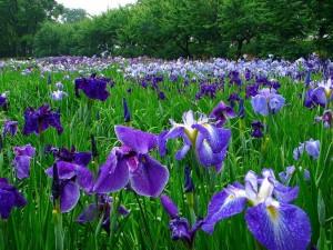 ирис бледный цветы на поляне