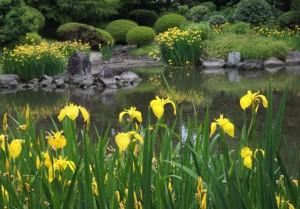 желтые ирисы у водоема