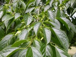 Эвкоммия вязолистная ветви дерева с листьями