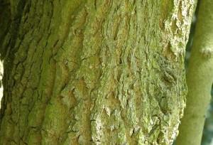 Эвкоммия вязолистная ствол дерева