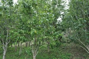 Эвкоммия вязолистная деревья