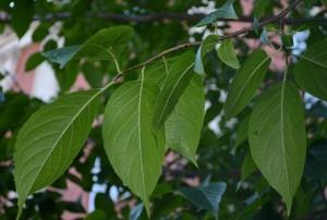 Эвкоммия вязолистная листья на ветке
