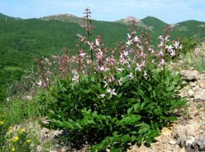 Ясенец белый в горах