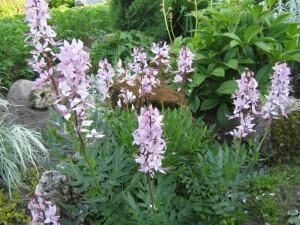 Ясенец белый в саду