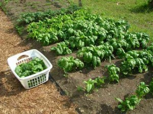 Шпинат огородный на грядках