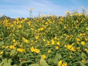 Топинамбур в поле цветы