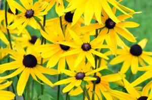Топинамбур цветы крупный план