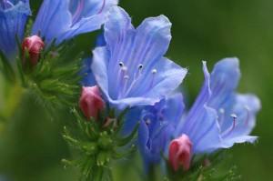 Синяк обыкновенный цветы крупный план