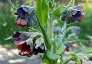 Чернокорень лекарственный соцветие