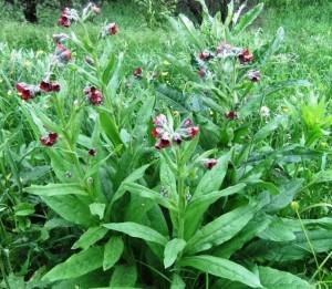 Чернокорень лекарственный несоклько растений