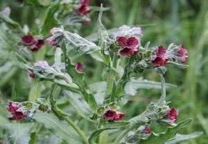 Чернокорень лекарственный цветущее соцветие