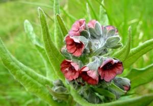 Чернокорень лекарственный цветы крупный план