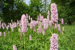 горец змеиный цветы на поляне